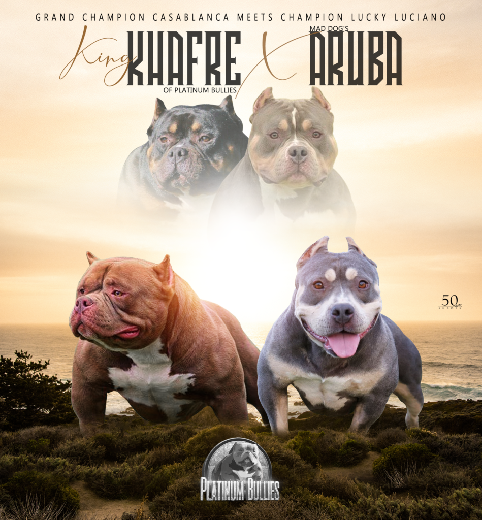 platinum bullies australia breeding